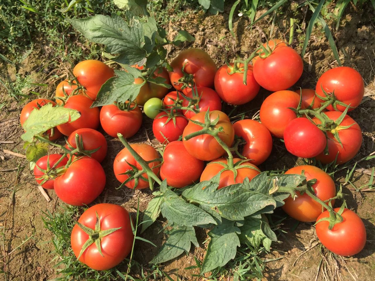 hạt giống cà chua  siêu chịu nhiệt, cà chua F1, thái lan, jupiter 9.0 - 6