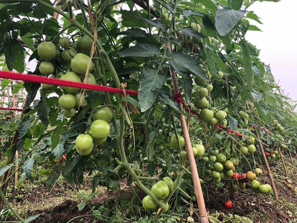 hạt giống cà chua  siêu chịu nhiệt, cà chua F1, thái lan, jupiter 9.0 - 3