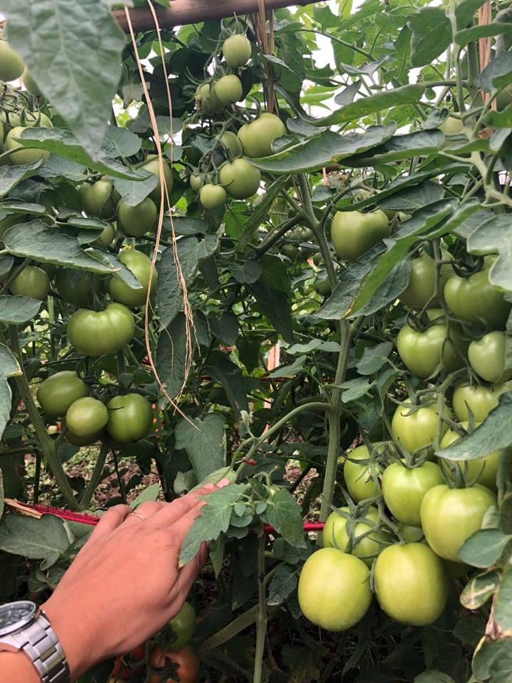 hạt giống cà chua  siêu chịu nhiệt, cà chua F1, thái lan, jupiter 9.0