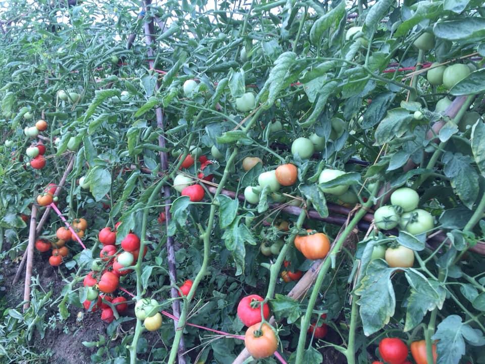hạt giống cà chua  siêu chịu nhiệt, cà chua F1, thái lan, jupiter 9.0 - 4