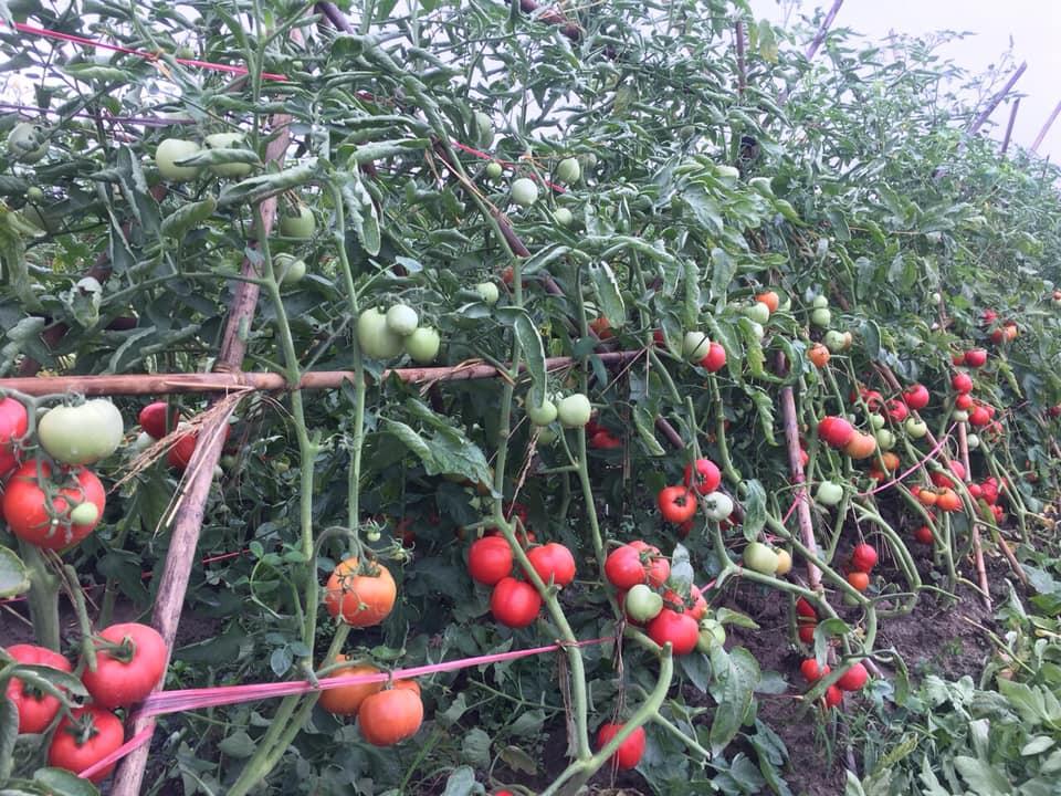 hạt giống cà chua  siêu chịu nhiệt, cà chua F1, thái lan, jupiter 9.0 - 5